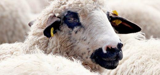 political sheep